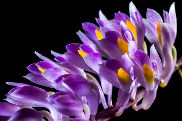 Ochidee exotisch lila