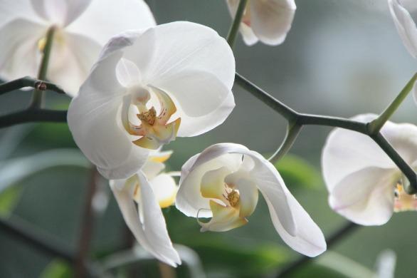 orchidee-weiss-viele-blueten-beitrag